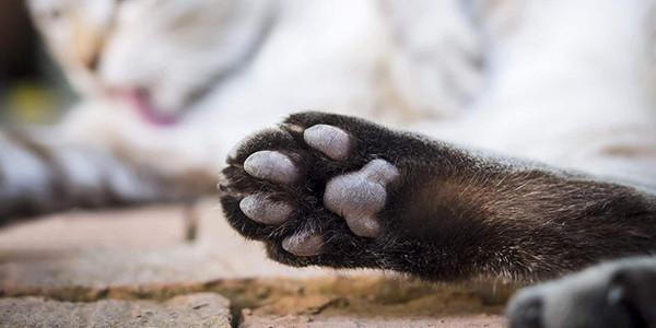 Kedi Tırnağı Nasıl Kesilir?
