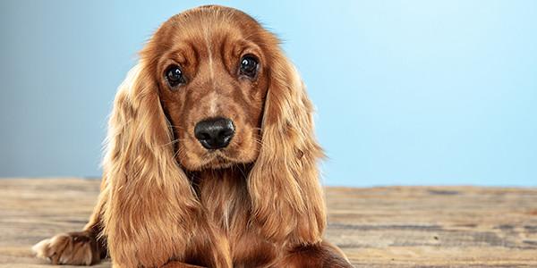 Köpeklerde Vestibüler Hastalık