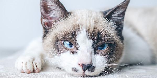 Kedinizin Geceleri Miyavlamasının Nedenleri