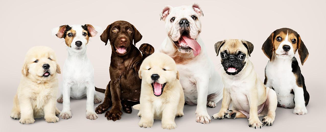 Köpek Türleri ve Cinsleri Nelerdir?